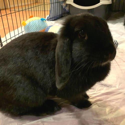Carbon - Dwarf lop Rabbit