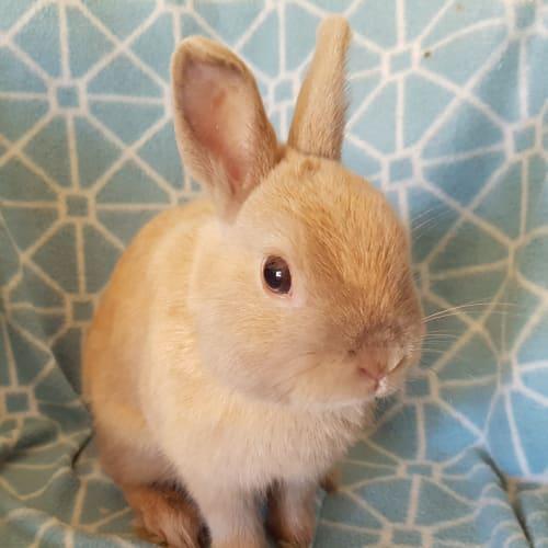Pete - Netherland Dwarf Rabbit