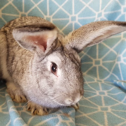Hai Hai - Cashmere x Domestic Rabbit