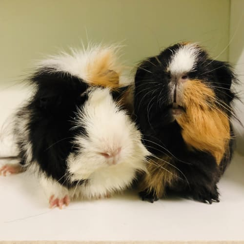 Elvis & Rosie (Female paired with de-sexed male)  - Sheba Mini-Yak x Sheltie Guinea Pig