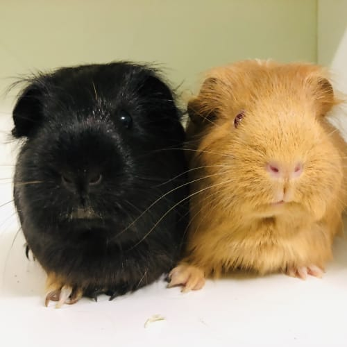 Maggie & Penny - Smooth Hair Guinea Pig