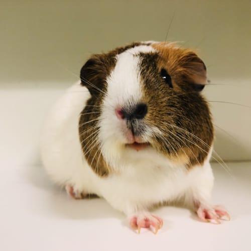 Tilly  - Smooth Hair Guinea Pig