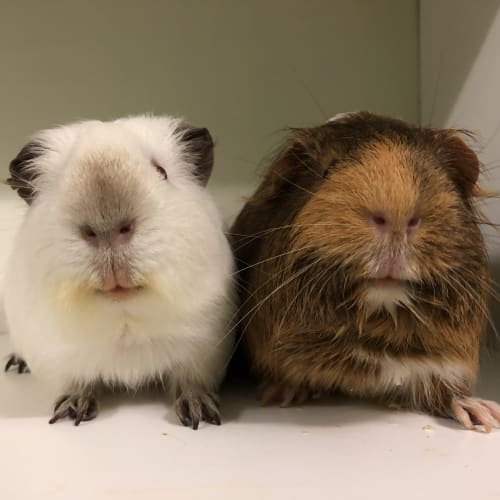 Snow & El (De-sexed male paired with female)  - Smooth Hair x Himalayan Guinea Pig