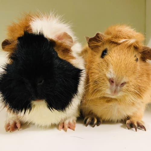 King kong and Jane (De-sexed male) - Abyssinian Guinea Pig