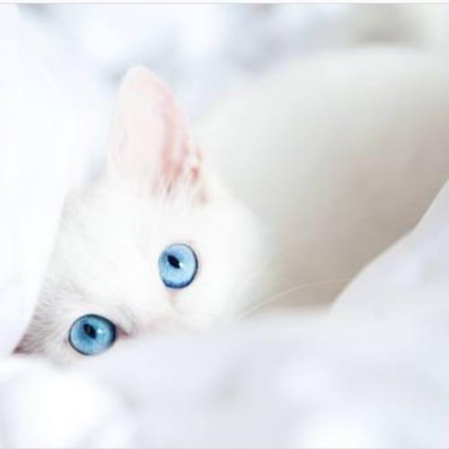 Artica and Alaska - Domestic Short Hair Cat