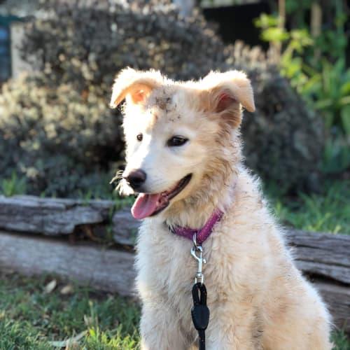 Wednesday aka Daisy - Kelpie x Labrador Dog
