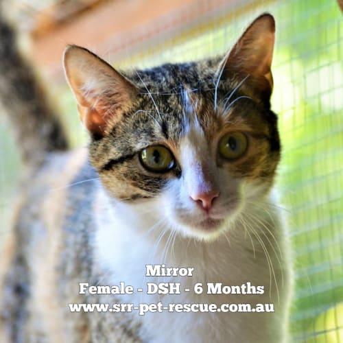 Mirror - Domestic Short Hair Cat