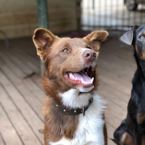 Gabe - Border Collie x Kelpie Dog