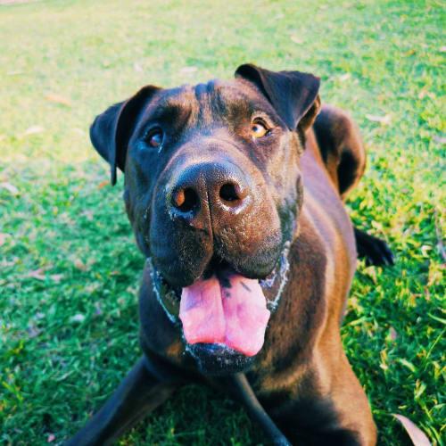 Henry 🖤 - Great Dane x Shar-Pei Dog