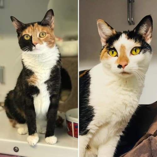 Maizie and Maggie - Domestic Short Hair Cat