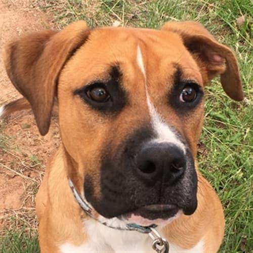 Brock - Boxer Dog