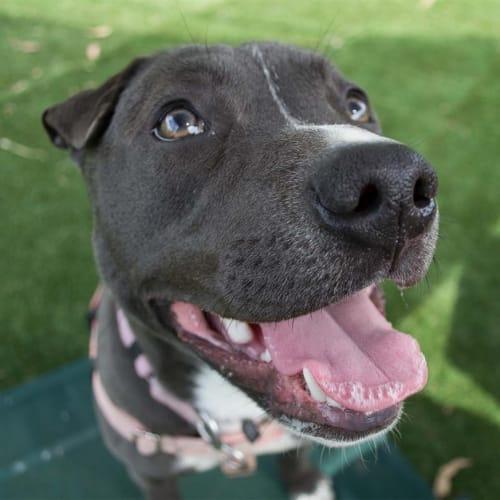 Cleo - Staffordshire Bull Terrier x Shar Pei Dog