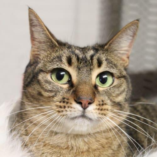 Sandy - Domestic Short Hair Cat