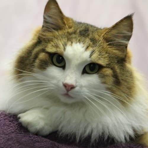 Aurora - Domestic Medium Hair Cat