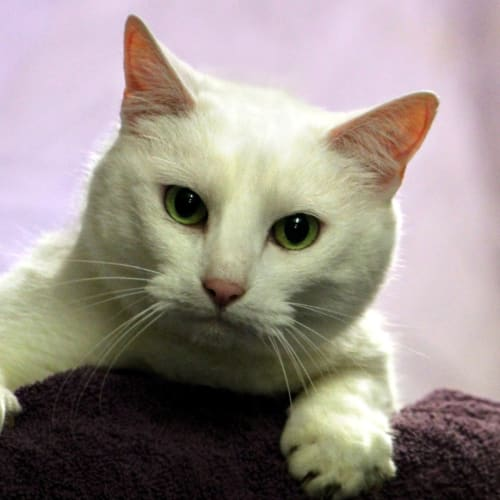 Wish - Domestic Short Hair Cat