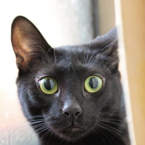 Jenga - Domestic Short Hair Cat