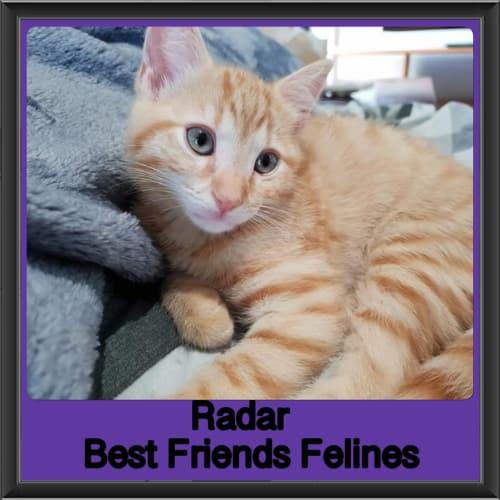 Radar  - Domestic Short Hair Cat