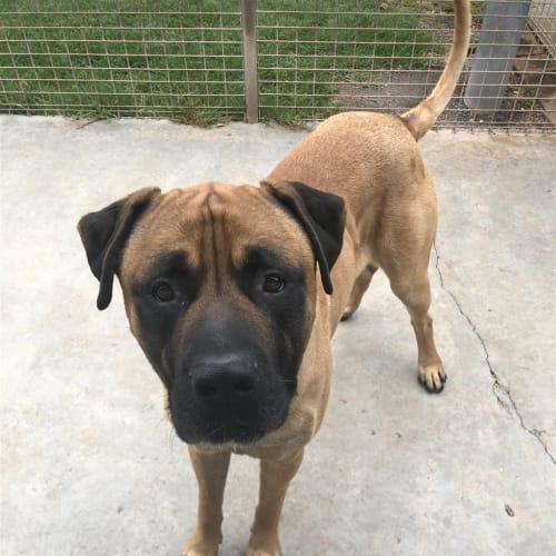 Buster - Mastiff X Dog