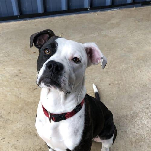 Bosley - American Bulldog x Staffordshire Bull Terrier Dog