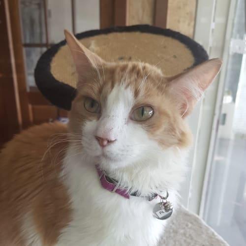 Peter - Domestic Short Hair Cat