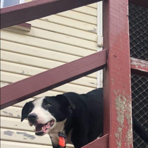 Luka 😸 - Border Collie x Kelpie Dog