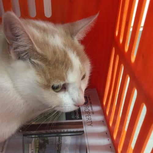 Icy - Domestic Short Hair Cat