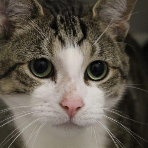 Beau - Dsh Cat