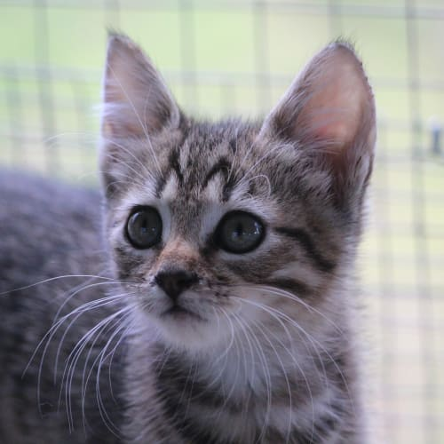 Autumn - Domestic Short Hair Cat