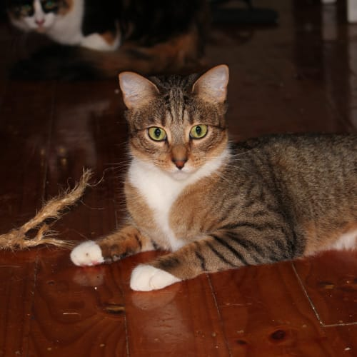Zayda (Located in Narre Warren South) - Domestic Short Hair Cat