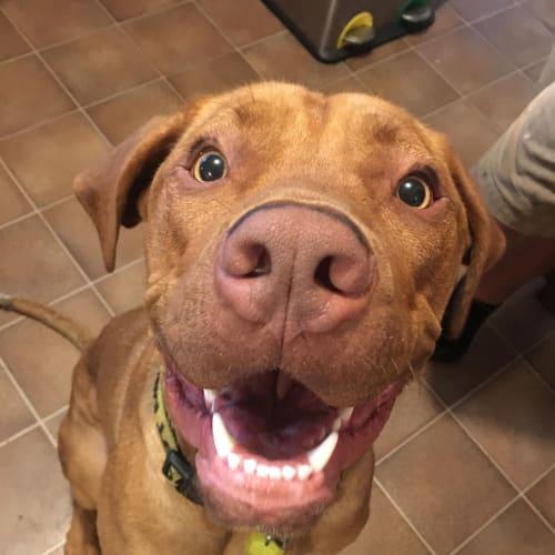 Achilles DL2033 - Dogue De Bordeaux Dog