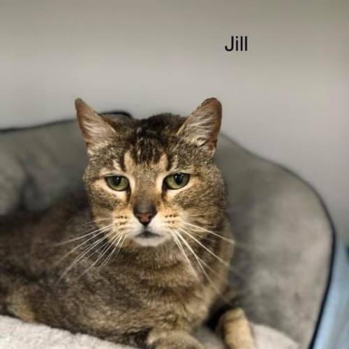 Jill - Domestic Short Hair Cat