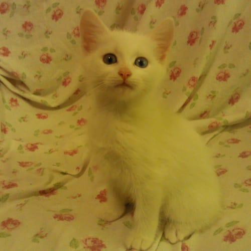 Snowy - Domestic Short Hair Cat