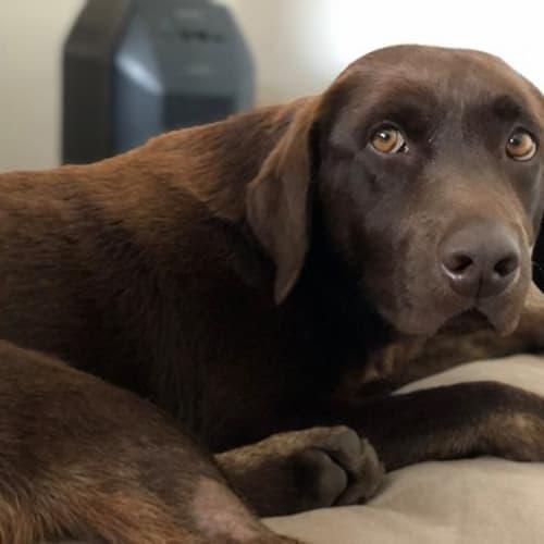 Frankie - Labrador Dog