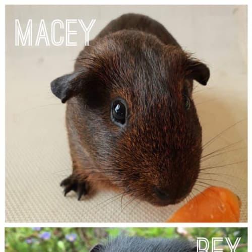 Mia & Rex  - Smooth Hair Guinea Pig