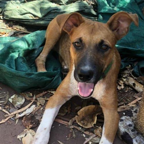 Dean - Kelpie Dog