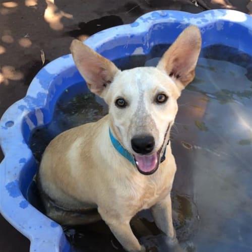 Dobby - Kelpie Dog