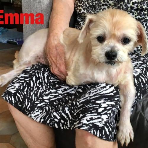 Emma - Shih Tzu Dog