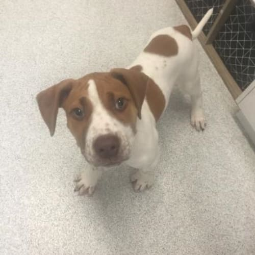 Troy (Adoption Pending) 907633 - Bull Arab x Staffy Dog