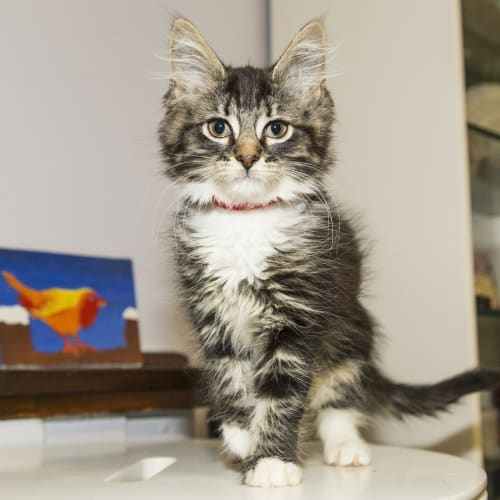 Chame - Domestic Medium Hair Cat