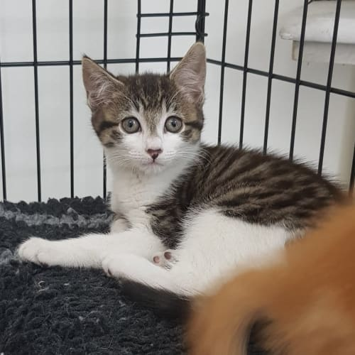 Diva - Domestic Short Hair Cat