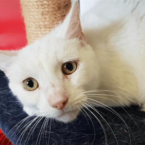 Huxley - Domestic Short Hair Cat