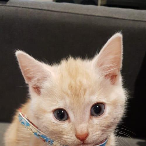 Nacho - Domestic Short Hair Cat