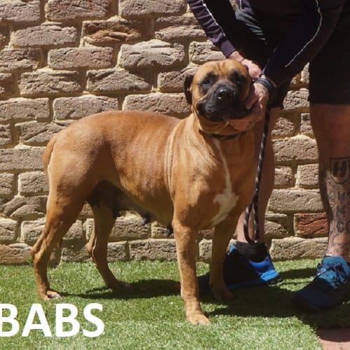 Babs - Bullmastiff Dog