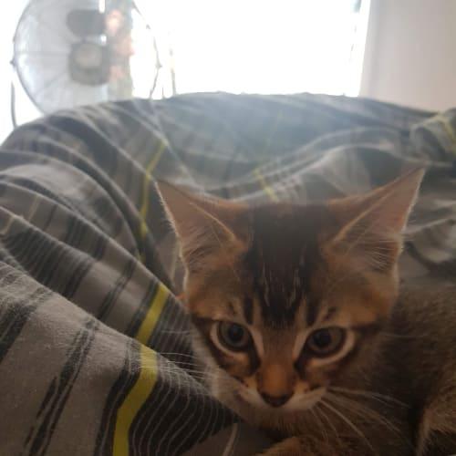 Beautiful Bindi  - Domestic Short Hair Cat