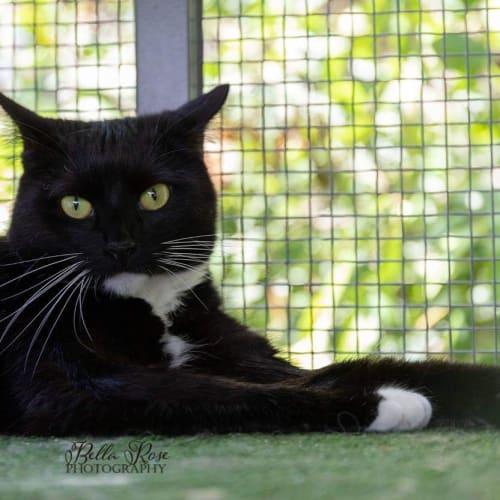 Leah - Domestic Short Hair Cat