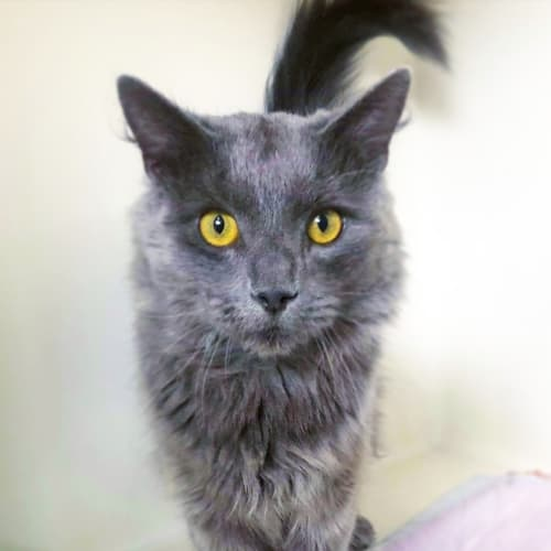 Marvin - Nebelung Cat