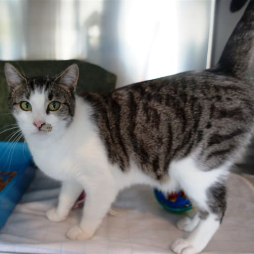 Milo - Domestic Short Hair Cat