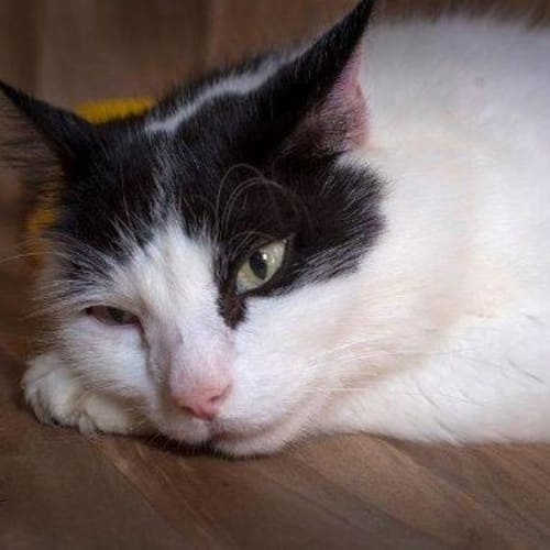 Sammy - Domestic Medium Hair Cat