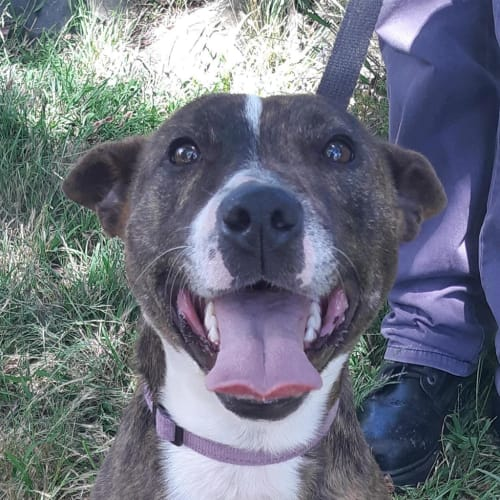 Imogen - Staffordshire Bull Terrier Dog