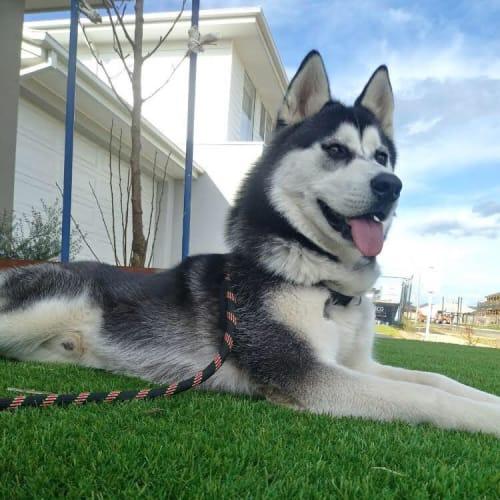 Rocky - Siberian Husky Dog